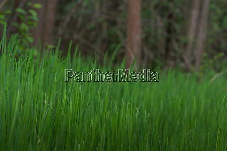 ueppiges gruenes gras im wald