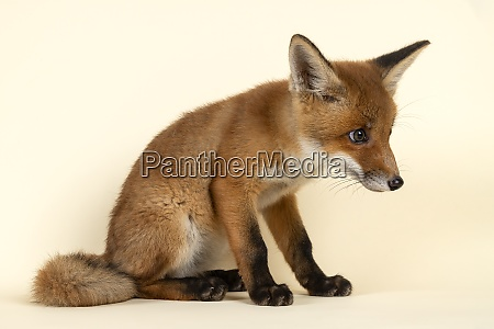 saeugetiere fuchs 2020 32729