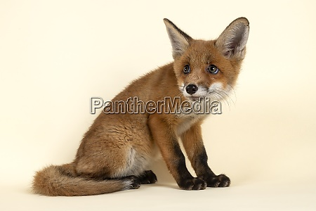 saeugetiere fuchs 2020 32730