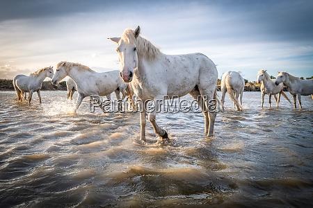 weisse pferde in der camargue frankreich