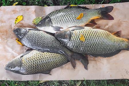 frischer flussfischkarpfen im fluss gefangen