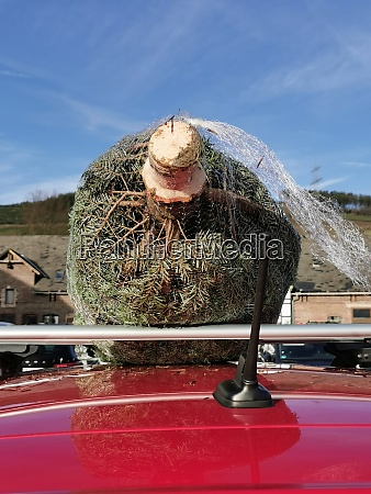 ein frischer weihnachtsbaum des verkaeufers wird