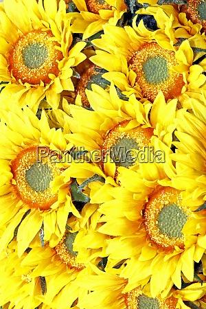 sonnenblumen detail