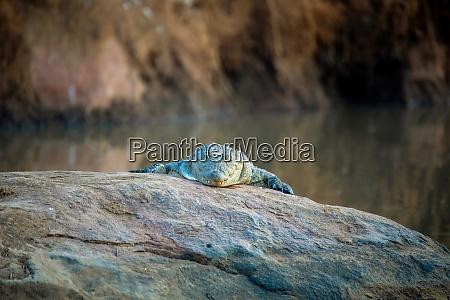 krokodil im pilanesberg nationalpark suedafrika