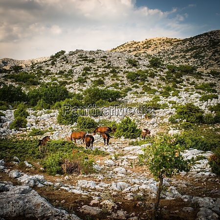 wildpferde im biokovo nationalpark kroatien