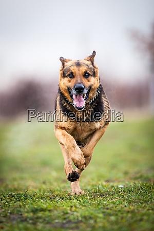 schnell laufender deutscher schaeferhund