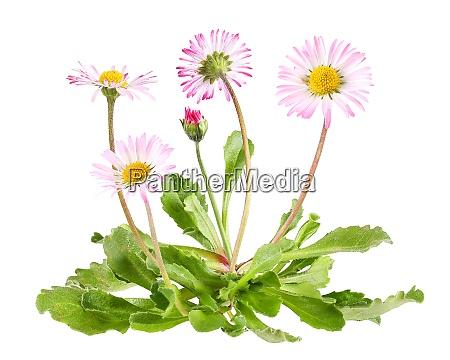 gaensebluemchen mit blaettern isolierte pflanze