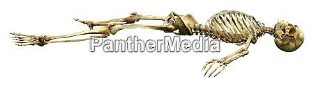 3d rendering menschliches skelett auf weiss