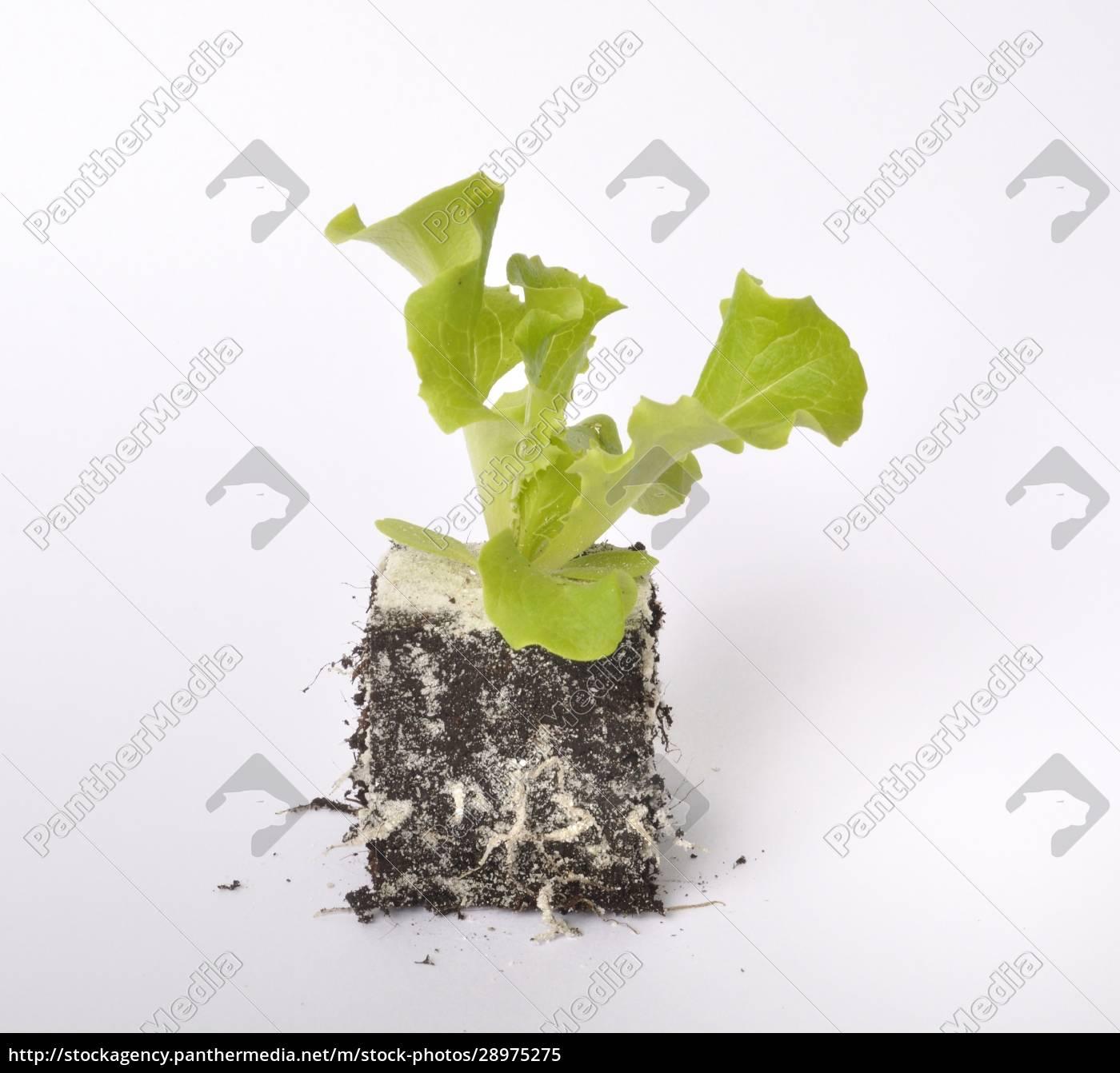 batavia, salatpflanzen - 28975275