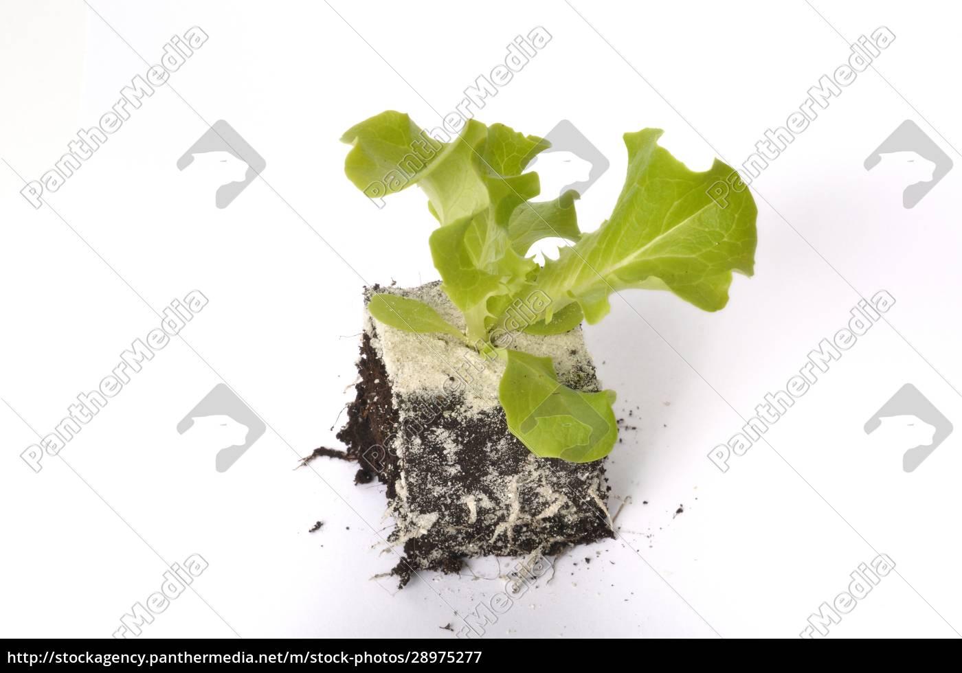 batavia, salatpflanzen - 28975277