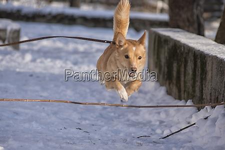 roter hund springen spielen im winter