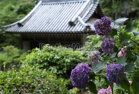 hortensien und tempel in japan