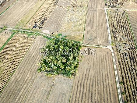 kokospalmen umgeben von reisfeld