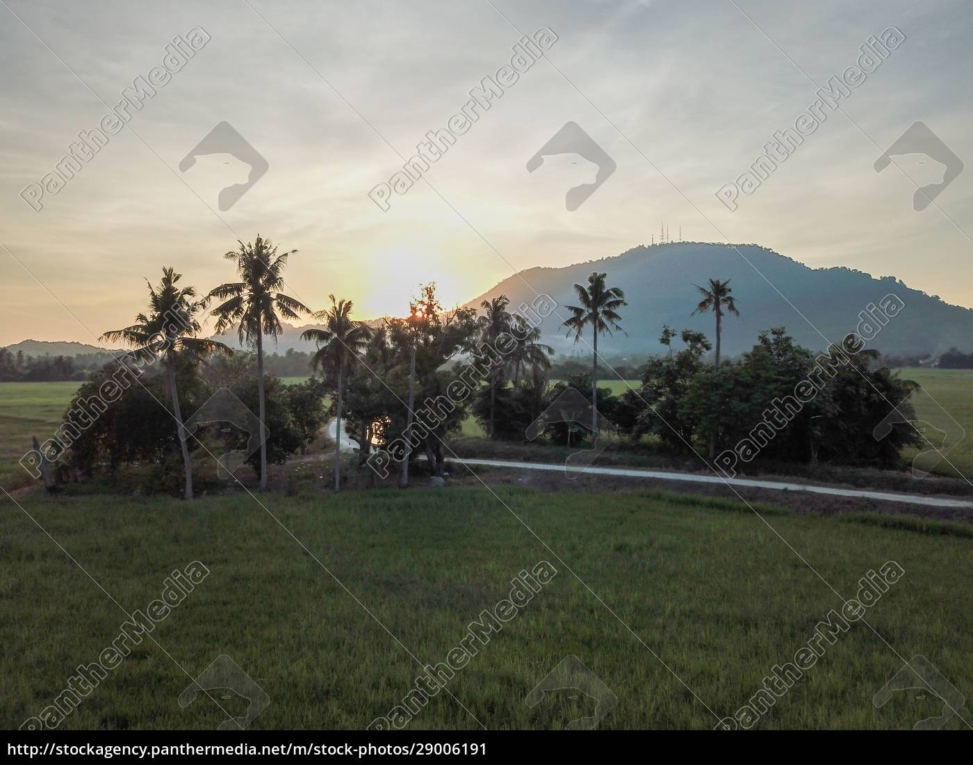 green, field, with, coconut, trees - 29006191