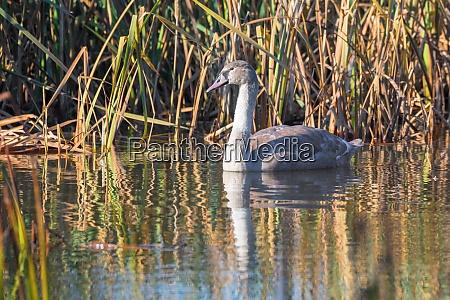 junger stummer schwanmorgen am teich