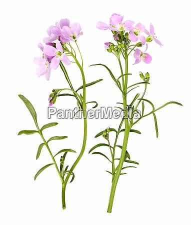hellrosa kuckucksblume als nahaufnahme isoliert
