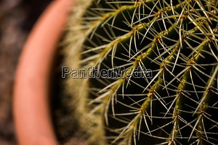 gruene kaktus dornen detail