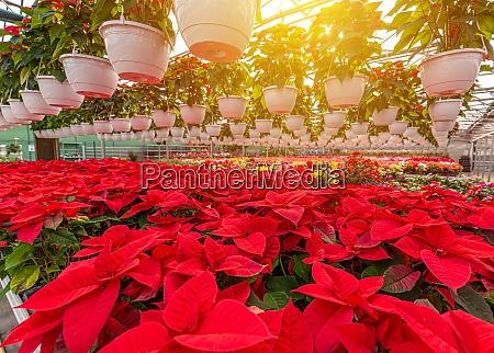 poinsettia weihnachten rote blumen