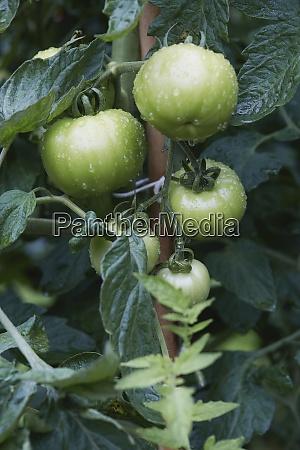 gruene tomaten auf der rebe