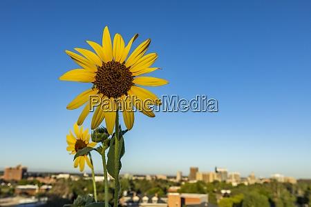 usa idaho boise nahaufnahme von sonnenblumen