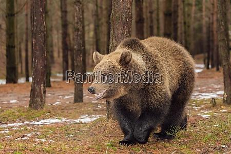 braunbaer im winterwald europaeische tierwelt