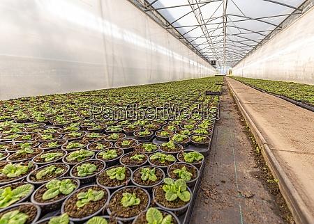 kleine, junge, primulapflanzen - 29038846