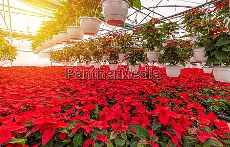 bluehende rote poinsettia pflanzen