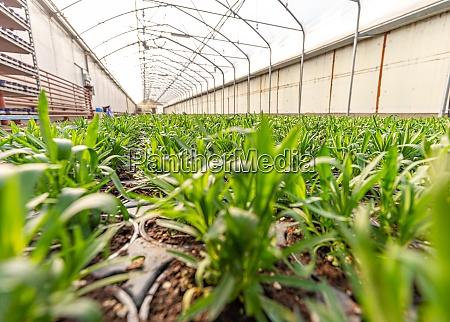 junge dianthuspflanzen