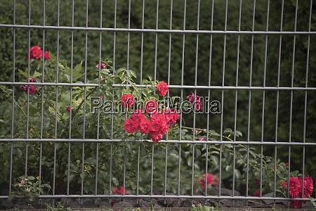 rosenpflanzen im rosengarten