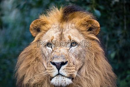 suedwestafrikanischer loewe oder katangaloewe