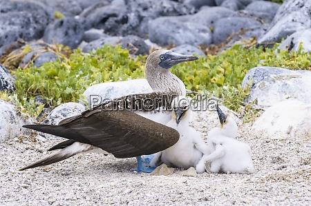 ecuador, galapagosinseln, san, cristobal, blaufuß-booby, mit, küken - 29112583