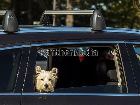 hund blick aus autofenster street