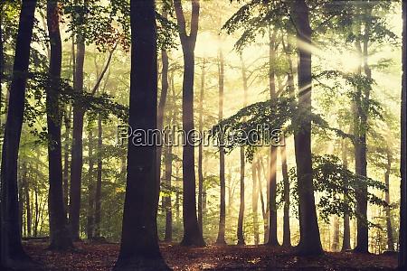 buchenwald am morgen im hintergrund