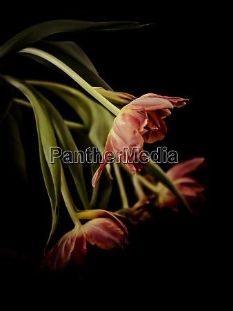 rote tulpen vor schwarzem hintergrund