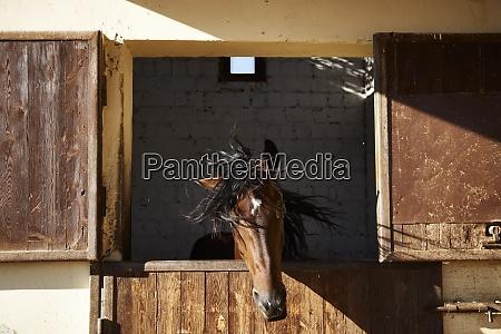 AEgypten el gouna pferd im stall