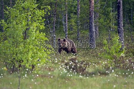 finnland kuhmo braunbaer