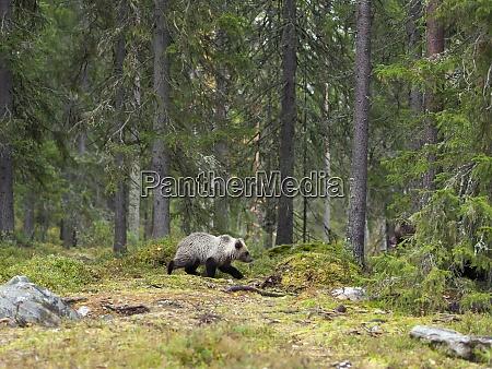 finnland kainuu junger braunbaer