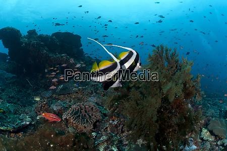 indonesien bali nusa lembongan langflossen bannerfisch
