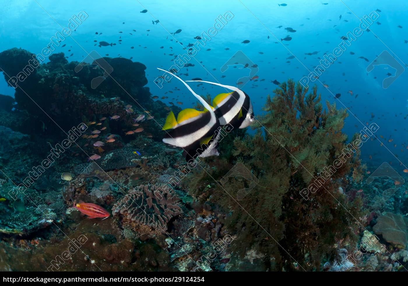 indonesien, bali, nusa, lembongan, langflossen-bannerfisch, heniochus, acuminatus - 29124254
