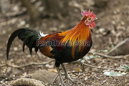 thailand, kaeng, krachan, rote, dschungelvögel - 29124230