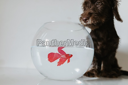 puppy, sitting, by, fishbowl, on, table - 29127859