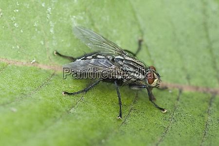 schmeissfliege fliege calliphora vicina