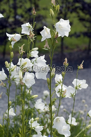 pfirsichblaettrige glockenblume campanula persicifolia