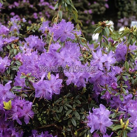 rhododendron bluebird