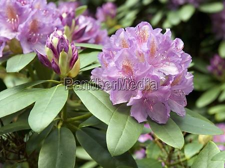 rhododendronpark muesitzer