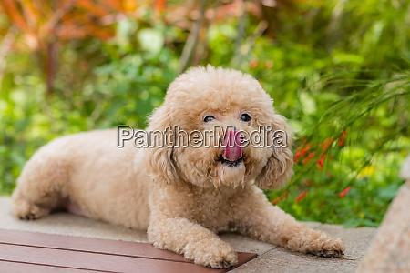 hundepudel sitzen auf der bank