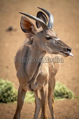 nahaufnahme des maennlichen groesseren kudu zeigt