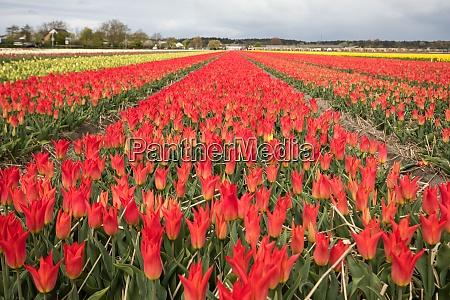 tulpenfelder des bollenstreek suedholland niederlande