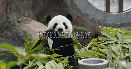 big, panda, in, the, park - 29194947