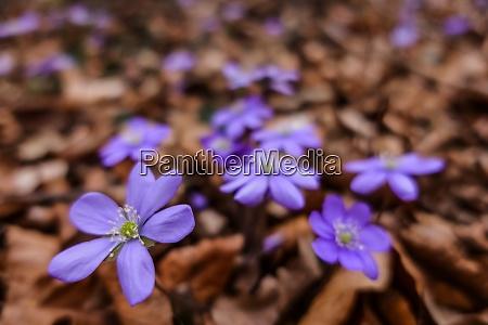 leberblattblume beim wandern im wald und